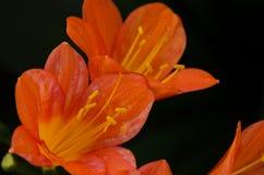Orange Clivia Lily Lizenzfreies Stockfoto