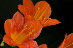 Orange Clivia Lily Royalty Free Stock Photo