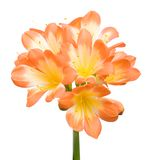 Orange Clivia miniata Stock Photography