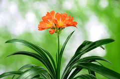 Orange Clivia miniata Royalty Free Stock Image