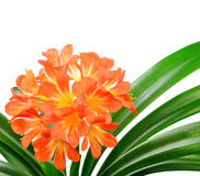 Orange Clivia miniata. Isolated on the white background Royalty Free Stock Photos