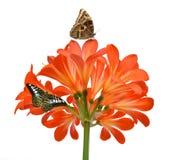 Orange Clivia miniata Arkivfoton