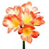 Orange Clivia miniata Royalty Free Stock Photo