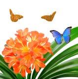 Orange Clivia miniata with butterflies Royalty Free Stock Photos