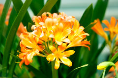 Orange Clivia Miniata flowers Royalty Free Stock Images