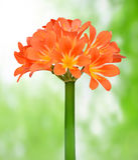 Orange Clivia miniata. On green background Royalty Free Stock Photos