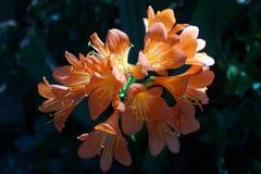 Orange clivia in Pretoria, South Africa. Orange clivia flowers in the botanical gardens in Pretoria, South Africa stock photo