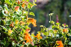 Orange clock vine Thunbergia gregorii blooming royalty free stock photos