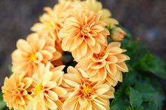 Orange closeup flowers royalty free stock photo