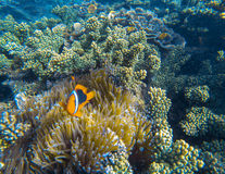 Orange Clown fish in actinia tentacles. Clownfish in sea plant. royalty free stock photography