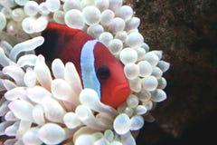 Orange Clown fish in her white anemone. Female pacific tomato clown fish in a bubble tip anemone Stock Photos