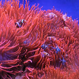Orange Clown Fish Royalty Free Stock Photo
