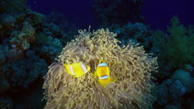 Orange Clown fish swimmig in Sea Anemone at night. stock video footage
