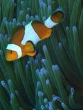 Orange Clownfische Stockfoto