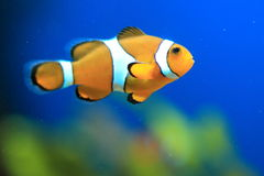 Orange clownfish Royalty Free Stock Images