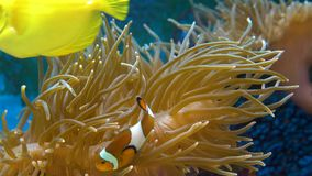 Orange clownfish in the anemone. Orange clownfish. Amphiprion percula swims between the tentacles of the sea anemone. Close up stock footage