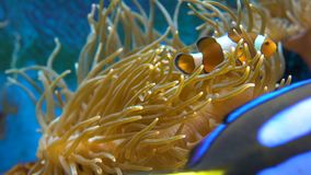 Orange clownfish in der Anemone stock video