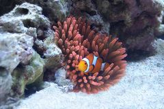 Orange Clownfish in der rosa Anemone lizenzfreies stockbild