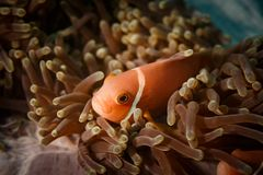 Orange clownfish face hiding in the tentacles of a sea anemone. Face of orange clownfish ,cnidaria, anthozoa, hexacorallia  hiding in the long tentacles of a sea Royalty Free Stock Photography