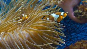 Orange clownfish i anemonen lager videofilmer