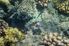 Orange clownfish i färgrika koraller av den tropiska kusten Tropisk fisk i kust royaltyfri bild