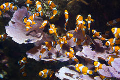 Orange clownfish Royalty Free Stock Photos