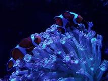 Orange clownfish in saltwater aquarium. Nature and fauna, underwater view, sea and ocean ecosystem stock photo