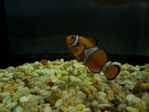 Orange clownfish in saltwater aquarium. Nature and fauna, underwater view, sea and ocean ecosystem stock image
