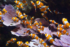 Orange clownfish Stock Image