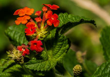 Orange Cluster of Lantana Shrub Flowers Stock Photography