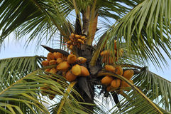 Orange coconuts Royalty Free Stock Photos