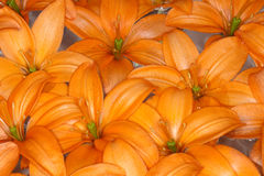 Orange Cocotte Asiatic Lily Stock Photos