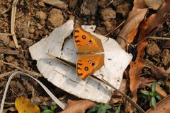 Orange and coffe mix colour butterfly. Orange and coffee mix colour butterfly. Small black spot and round on the wing. Butterflies go through a life cycle. A stock images