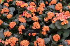 Orange colancheaväxter och rosa färgblommor Arkivbild