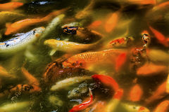 Orange Coloful Carp Koi Goldfish Yuyuan Shanghai China. Chinese Colorful Orange Carp Koi Goldfish Yuyuan Garden Shanghai China royalty free stock image