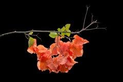 Orange color Bougainvillea Stock Image