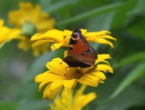 Orange color butterfly on a yellow blooming flower. One dark orange color butterfly on a yellow blooming flower Stock Images