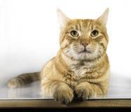 Orange color cat Stock Image