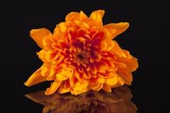 Orange color chrysanthemum flower on black background, reflection.  Stock Image