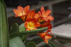 Orange color clivia flowers. Closeup macro photo stock photography