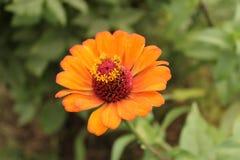 Dahlia flower in the Himalayas mountain. Orange color dahlia flower in the Himalayas mountains Royalty Free Stock Image