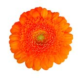 Orange color daisy gerbera isolated on white background, clipping path included royalty free stock photo