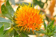 Orange color flower with blurred background. Close up of orange color flower and green leaves with blurred background stock image