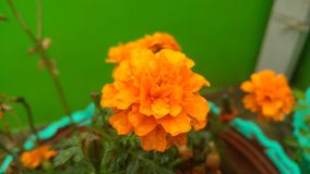Orange color flower focus image Royalty Free Stock Photography