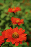 Orange color flower name Mexican sunflower in garden Stock Photos
