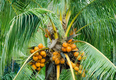 Orange color fresh coconut fruit on tree Stock Images