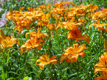 Orange color on fresh lily flowers Royalty Free Stock Photos