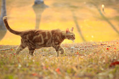 Orange  color fur cat walking in park with morning light Stock Photography