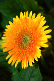 Orange color gerbera. Type of daisy flower close up view stock image