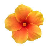 Orange color hibiscus flower top view isolated on white background, path Stock Images